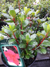 Azalea Little Red