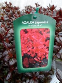 Azalea Maruschka