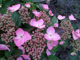 Hydrangea serr. Hallasan (H151)