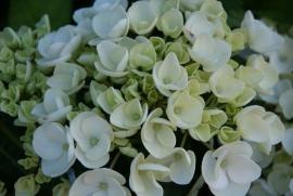 Hydrangea macr. Hovaria Holibel ® (H58)