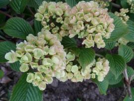 Viburnum plicatum Thunberg Original 50-60 cm.