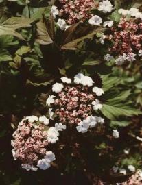 Viburnum Sargentii Onodaga c4-5