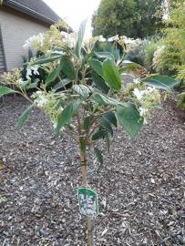 Viburnum plicatum watanabe op 80 cm. stam