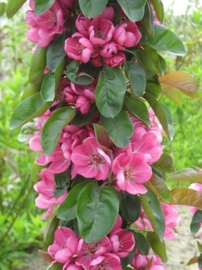 Malus Apollo  ong.  40-60 cm. in C2