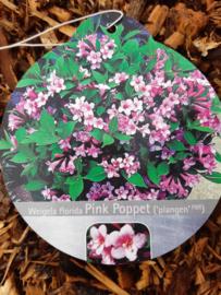 Weigela pink poppet c2-3.