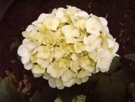 Hydrangea macr. Ave maria (H63)