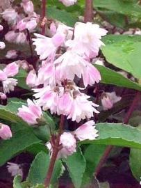 Deutzia scab. Plena  ong. 60-80 cm