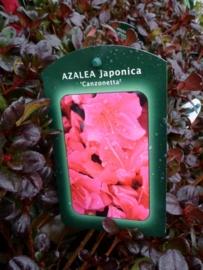 Azalea Canzonetta