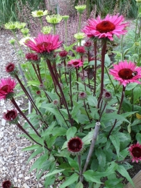 Echinacea fatal attraction  p11