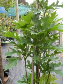 Quercus pal. Green Pillar ong. 240-260 cm.