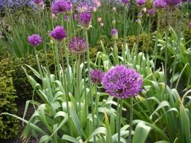 Allium alf. purple sensation