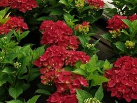 Hydrangea macr. Green Shadow ® (H34)