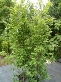 Carpinus betulus (zuilbeuk) ong. 250 cm.