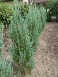 Juniperus scop. Blue Arrow (zuil) 60-80cm.  kluit