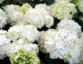Hydrangea macr. Mme Emile moulliere (H30)