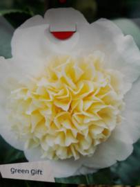 Camellia jap. Brusfield's Yellow  C5