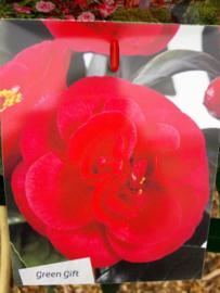 Camellia jap. Black Lace p15
