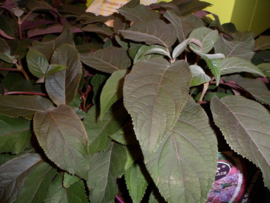 Hydrangea aspera Hot Chocolate