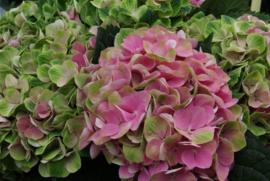 Hydrangea macr. Magical Amethyst  (H130)) roze C2