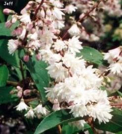 Deutzia scab.Pride of rochester  ong. 60-80 cm.