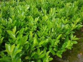 Prunus laur. Novita 150-160 cm.