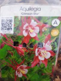 Aquilegia Crimson star (akelei) p11