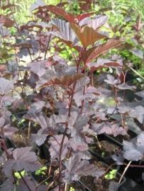 PHYSOCARPUS opulifolius `Diabolo` in pot