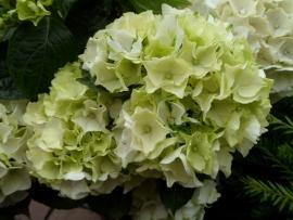 Hydrangea macr. Wudu (H157)
