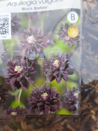 Aquilegia black  barlow (akelei) p11