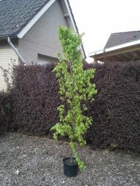 Carpinus betulus  (zuilbeuk) ong. 120-140 cm.