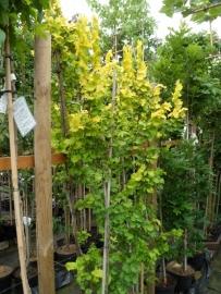 Ulmus carpinifolia Wredei  (Goudiep) c2-3