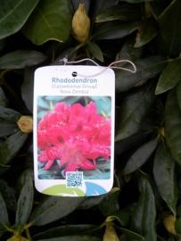Rhododendron hybr. Nova Zembla C5
