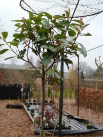 Photinia fras. Red robin op stam (ong. 110 cm.)