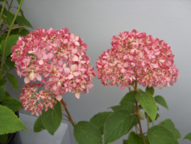 Hydrangea arb. Magical Pinkerbell