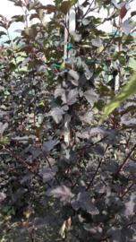 Physocapus op. diabolo zuilvorm ong. 150cm.