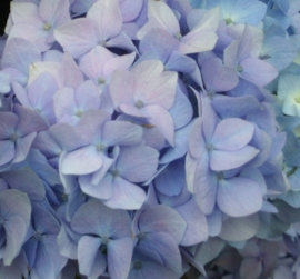Hydrangea macr. All summer beauty (H121)