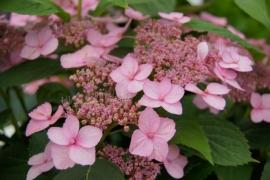 Hydrangea serr. Spreading beauty (H83)