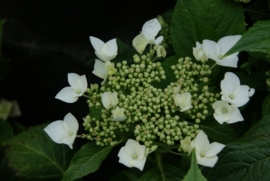 Hydrangea macr. Lanarth white (H2)