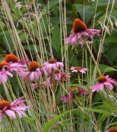 Echinacea purpurea magnus(zonnehoed)p11
