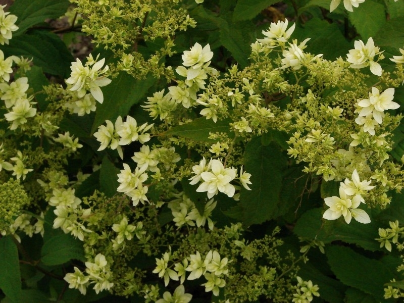 Hydrangea Hovaria Hayes Starburst® (double annabelle) (H92)