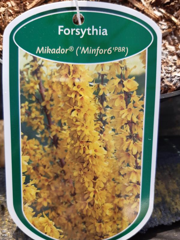 Forsythia intermedia Mikador  c2