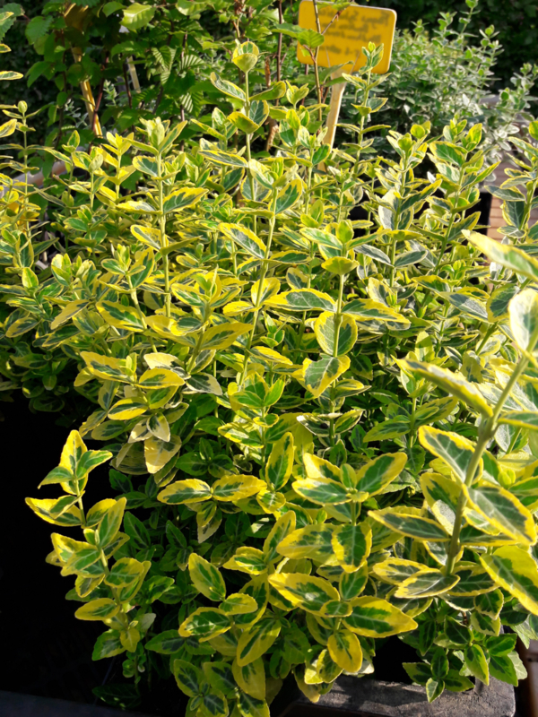 Euonymus fort. 'Emerald 'n' Gold' p9