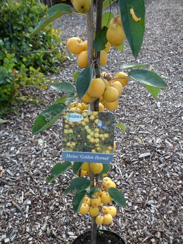 Malus Golden hornet in c 7,5