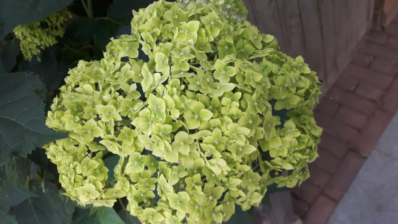 Hydrangea arb. Lime Ricky   (Lime Annabelle) (H167)