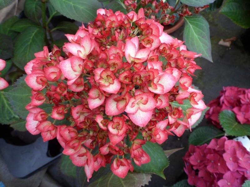 Hydrangea macr. Hovaria Ripple (H93) C3-4