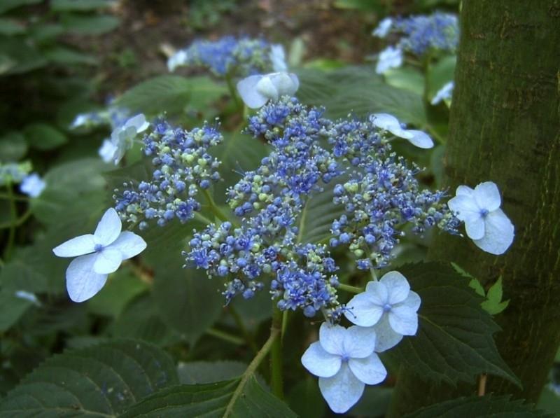 Hydrangea serr. Blue Billow (H85)