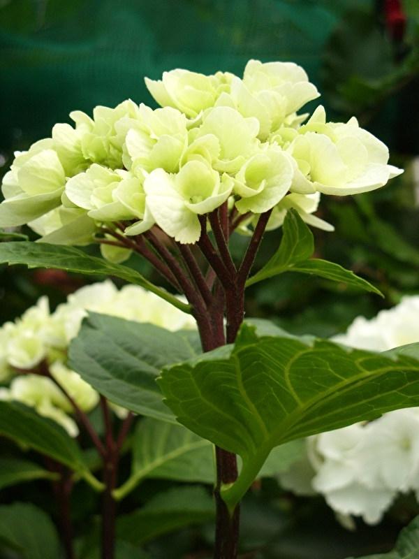 Hydrangea macr. Blacksteel wit (Merlin) c3