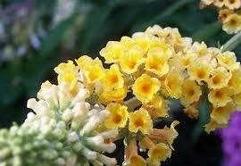 Buddleja weyeriana Honeycomb