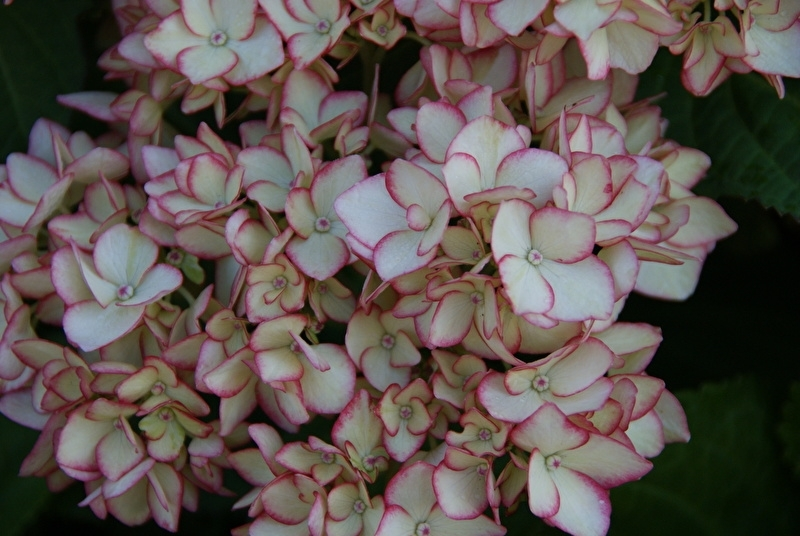 Hydrangea macr. Hovaria Mirai (H53)