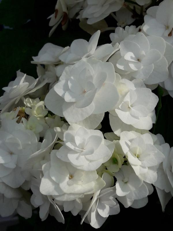 Hydrangea macr. Doppio Bianco (H168)